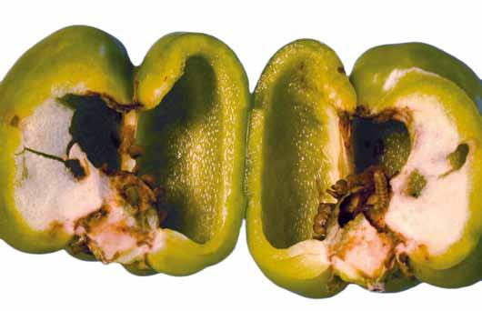 UNECE Explanatory Brochure on the Standard for Sweet Peppers Photo 27 Minimum requirement: free from damage caused by pests affecting the flesh.