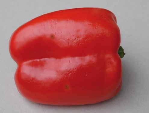 UNECE Explanatory Brochure on the Standard for Sweet Peppers Photo 43 Classification: Class I, slight skin defects.