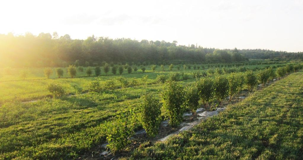 In the Orchard Overview Boreal Winery is the largest organic grower of specialty berries in Canada and the only certified organic Commercial Haskap orchard in the