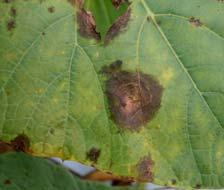 org). Symptoms and Signs Gummy stem blight symptoms affect all above-ground vegetative and reproductive parts of cucurbits, including leaves, petioles, vines, stems, tendrils, pedicels, flowers,