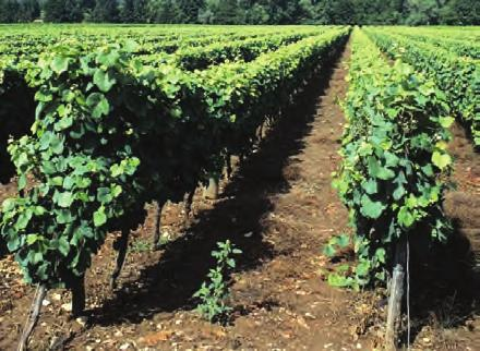 VINEYARD TRELLIS SYSTEMS Platypus, along with other companies such as Gripple, supply superb anchoring systems for vineyard trellises. anchoring systems, and greater durability and ease-of-use.