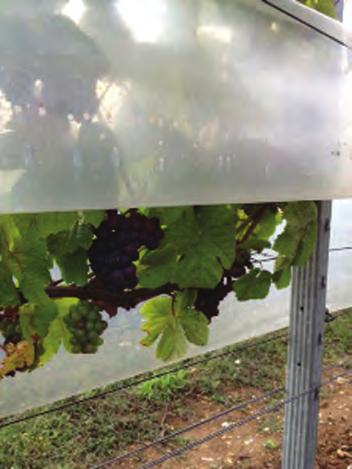 VINEYARD TRELLIS SYSTEMS By reducing Bortrytis risk and improving leaf sugars, grape quality can be significantly improved from the veraison stage of development.