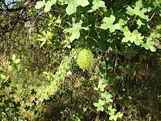 I hadn t seen it with fruit, but the second common name is Wild Cucumber, and what a prickly one.