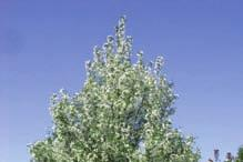 Page 4 Page 13 Selkirk Rosy bloom Crabapple Malus x adstringens 'Selkirk' Mature Size: 25 x 25 (8 m x 8 m) Crown Shape: Rounded, vase-like Flowers: Pink Hardiness: Zone 2 A vigorous grower with pink