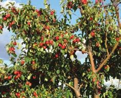 00 Dolgo Crabapple Malus x 'Dolgo' Mature Size: 30 x 20 (10 x 6 m) Crown Shape: Open, spreading Flowers: White Hardiness: Zone 2 A