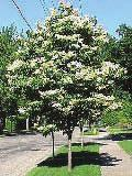 3 This small tree has cherry-like bark, glossy foliage and spectacular creamy-white, fragrant flowers that bloom in June. No disease or insect problems.