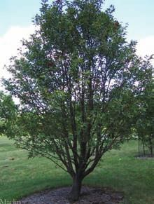 Page 8 Page 9 Northern Treasure Hybrid Ash Fraxinus x 'Northern Treasure' Mature Size: 50 x 30 (15 x 9