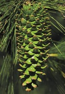It differs from P. strobiformis from Chihuahua southward in several aspects of cone and foliage morphology, in which it shows varying degrees of similarity to P. flexilis.