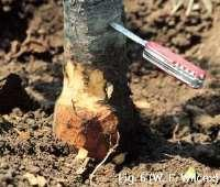 Crown rot is a disease of the rootstock portion of the tree. It affects the portion where the root joins the stem.
