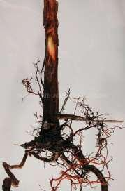 Grapes Both crown and root rot occurs in grapes. It can occur on single vines or in small sections of the vineyard.