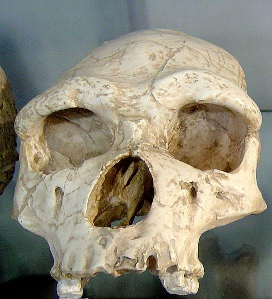 Homo Erectus Is More Intelligent About 1.