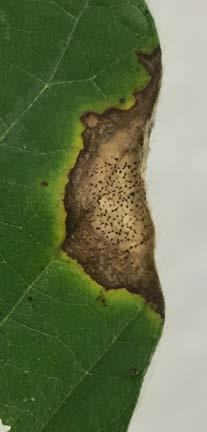 Conditions that Favor Disease Frogeye leaf spot is most severe when warm, humid weather with frequent rain persists for extended periods.