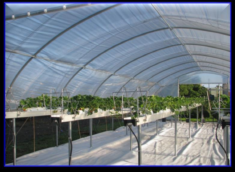 EXP. I: PRODUCTION FOR EARLY FRUIT RIPENING UNDER HIGH TUNNEL (2 nd harvest of plants used previously for