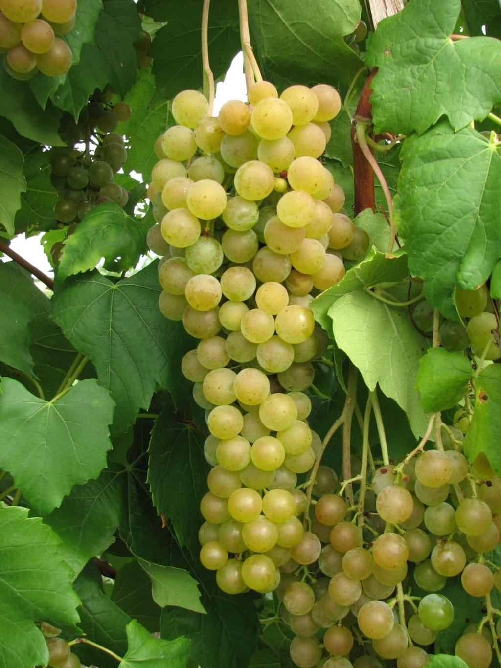 Aromella (NY 76.0844.24) NY76.0844.24 - (Traminette x Ravat 34) makes a top ranked floral, muscat wine. Own rooted vines have been highly productive, highly vigorous (24 lbs. of fruit/vine; 4.3 lbs.
