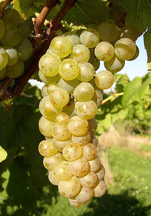 NY 81.0315.17 NY81.0315.17 - (Cayuga White x White Riesling) produces a floral and sometimes spicy light muscat wine. Highly rated for wine quality for several years.