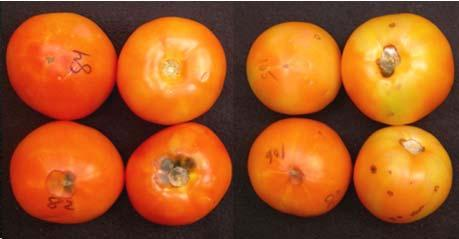 Red color, Hue Round Tomato (cv Bobcat) stored weeks + days Hue color value Storage Temperature. C ( F) C ( F).