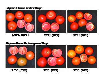 differences among varieties Ripening Temperature and ethylene treatment Temperature and RH -Impact on firmness and gloss Table. Effect of temperature on ripening rates of conventional tomatoes.