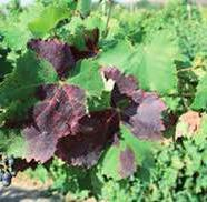 vitis) Rate 100cc-200cc/ha 1 200cc/ha 200cc/ha 1 Rate can reach 250-300cc/ha in some areas Grapevine mealybug on grape berries Grapevine mealybug on the bark The rate of Closer /Breaker for mealy bug