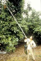 Fruit clipped Trees are tall ladder work and picking