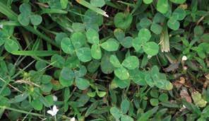 White clover Latin name: Trifolium repens General information: Prolific weed with typical emergence from September through May.