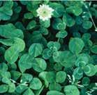 Optimum timing of herbicide application for white clover control in wheat is in the fall and/or spring.