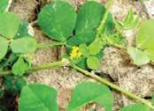 Optimum timing of herbicide application for burclover control in wheat is in fall and early spring.