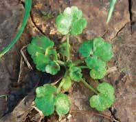 Weeds 12 Hairy buttercup Latin name: Ranunculus sardous General information: Typical emergence from September through May.