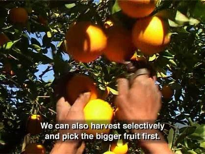 Other Practices There are a few other factors that we can control to produce bigger fruit.