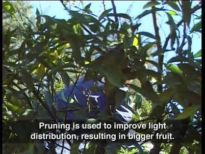 Fruit Thinning Tree fruit load affects fruit size, specifically the number of fruit on a tree. The more fruit there is on a tree, the smaller the fruit will be.