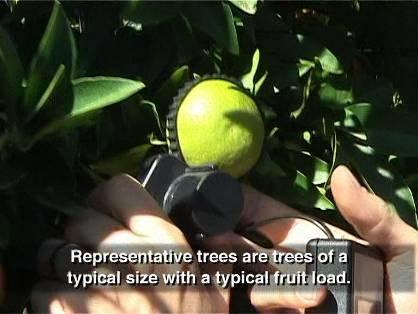 We can measure the of a representative sample of 50 to 150 fruit from two to five representative trees with a typical fruit load.