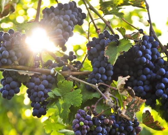 Why is alcohol increasing? Grape maturity enhances rich, ripe fruit flavour, and colour intensity.
