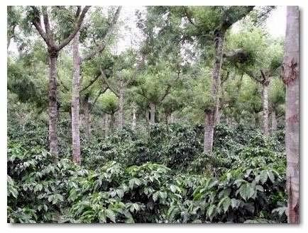 Shade Grown Grown under a canopy of trees The traditional method of growth before the modernization of coffee agriculture Typically