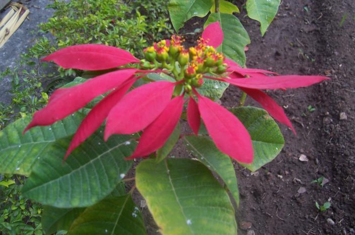 Euphorbia pulcherrima Willd.ex Klotz. Family Euphorbiaceae Hindi name- English Name-Poinsettia Location- Common in Bhopal, Raisen & Vidisha. Distribution- Throughout India. A native of Mexico.