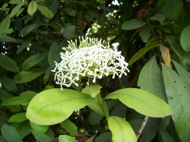 Ixora parviflora Roxb. Family-Rubiaceae Location-Common, Bhopal Distribution- Throughout the hilly district of India and Sri lanka. Found in deciduous forest and also grown in certain gardens.