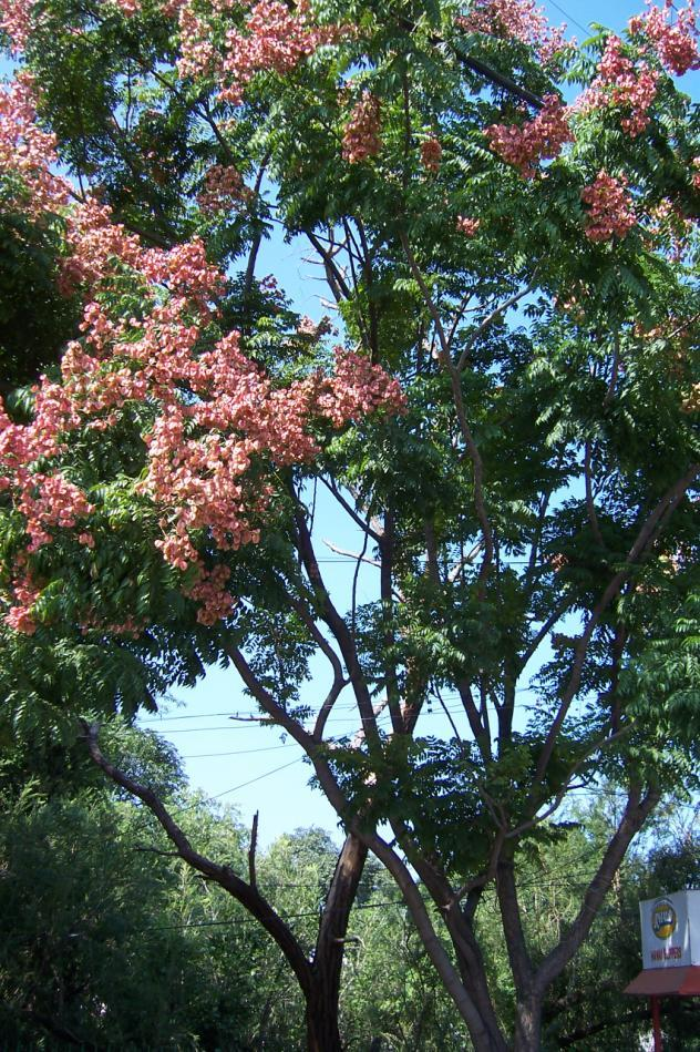 Koelreutaria paniculata Family-Sapindaceae English name- Golden rain tree. Location-Polytechnic road, Bhopal Distribution-Tree introduced. Grown in few well-known parks and Gardens.