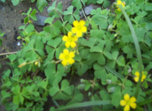 Oxalis corniculata L. Family-Oxalidaceae Hindi name- Chalmori English name- Wood sorrel, yellow sorrel Location- Bhopal Distribution- Throughout India and Srilanka.