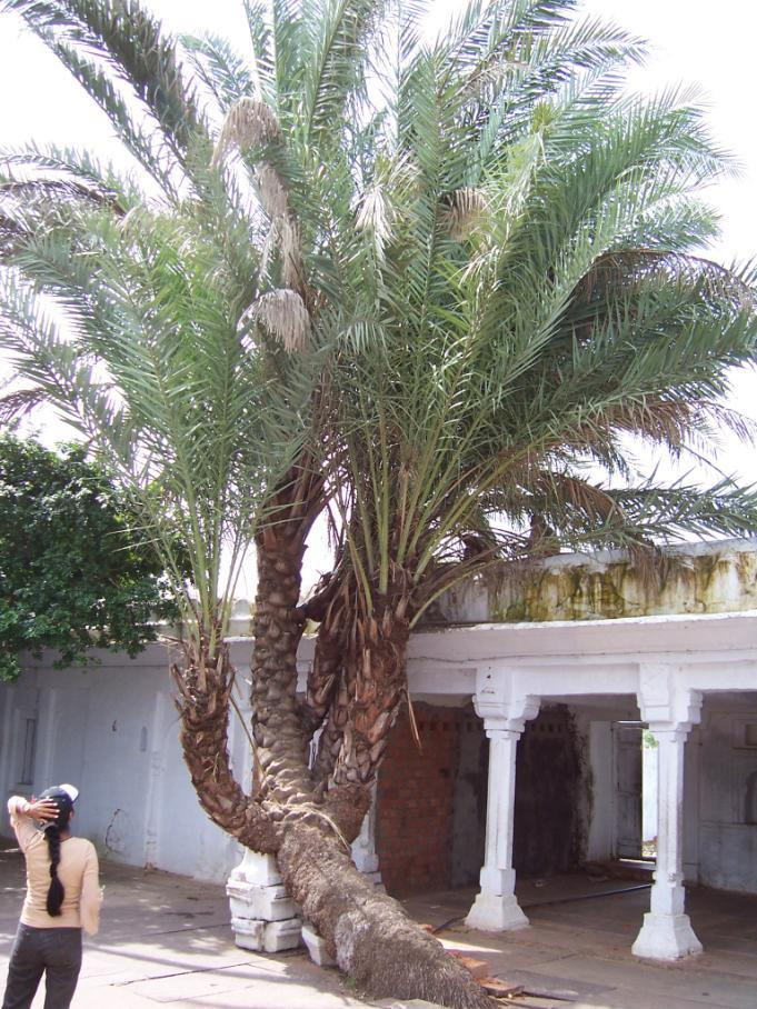 Family Palmae Hindi name- Khajoor, Khajoori English Name- Wild Date Palm, Date sugar Palm Location- Common in Bhopal, Raisen Distribution- Throughout India Description- A tall palm.