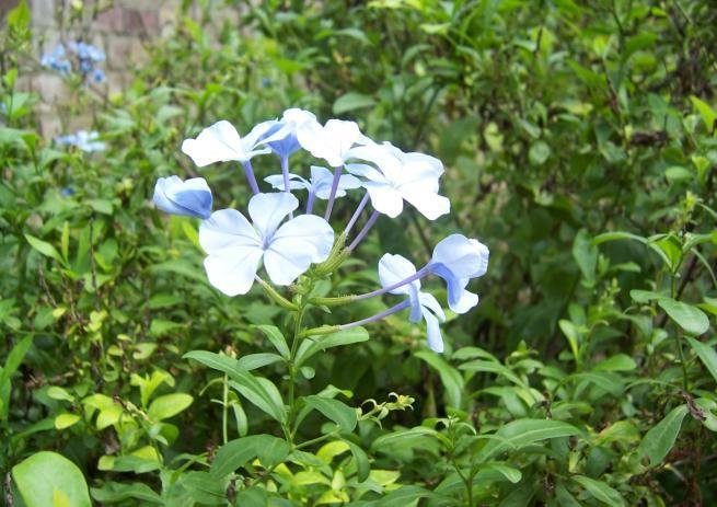 Plumbago capensis Family-Plumbaginaceae Hindi name-kala chirchitta Location-M.L.B. Garden, Bhopal Distribution- Native of the cape of Good Hope, Found in open forest area.