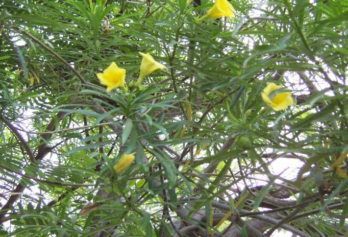 Thevatia neriifolia Juss. ex. Family-Apocynaceae Hindi name- Peela Kaner English Name- Yellow Oleander Location-Common in Bhopal, Raisen, Vidisha Distribution- Throughout India.