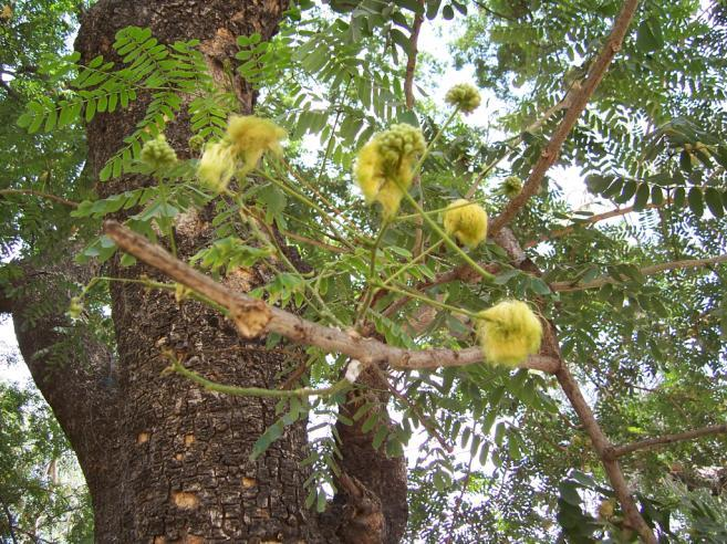 Albizia lebbeck Benth. Family-Mimosaceae Hindi name-kala siris English name-indian Walnut Location- Common, Bhopal Distribution- Throughout the plains of India.