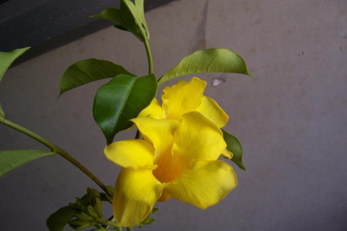 Allamanda cathartica L. Family-Apocynaceae Location- Nutan College, Bhopal Distribution- Grown throughout India, probably introduced by Portugese.