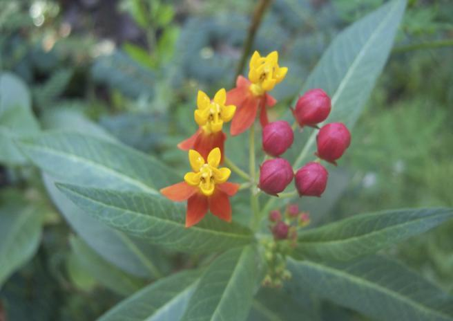 Asclepias curassavica L. Family-Asclepiadaceae Hindi name- English name- Blood flower Location-Berasia road, Bhopal Distribution- A native of the West Indies or of Tropical America.