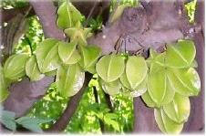 Averrhoa carambola L. Family Euphorbiaceae Location - common Distribution- Throughout India. Description- A medium sized tree with close drooping branches. Leaves sensitive, alternate, imparipinnate.