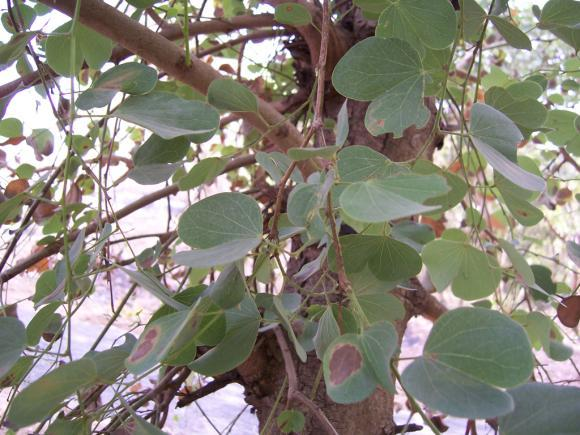 Bauhinia purpurea L. Family Caesalpiniaceae Kachnar Hindi name- Location - common Distribution - India and China.