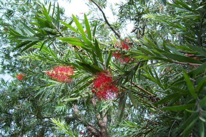 Callistemon lanceolatus DC. Family-Myrtaceae Hindi name-bottle brush English name- Bottle Brush Location- Ekant Park, Bhopal Distribution- Tree planted in gardens and private houses throughout India.