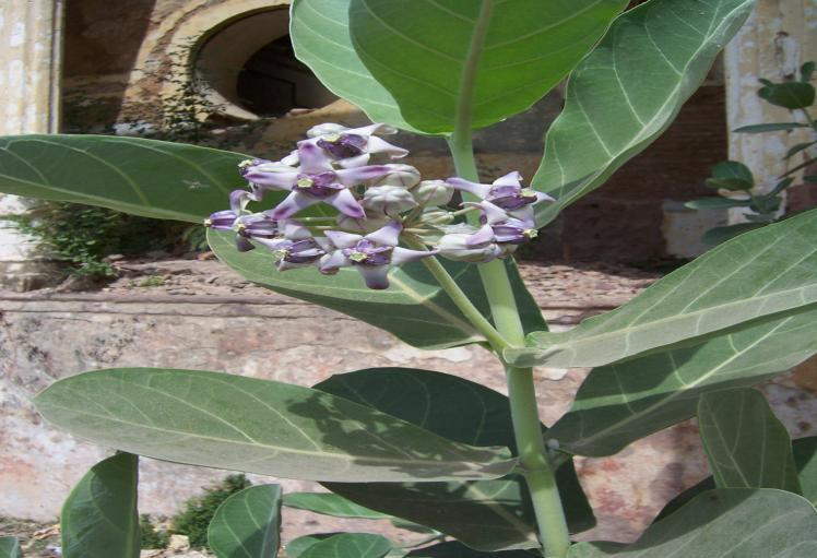 Calotropis procera (Ait.) R.Br. Family-Asclepiadaceae Hindi name- Madar Location- Common in Bhopal.