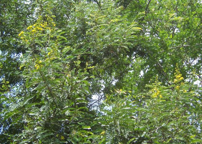 Cassia siamea Lam. Family-Caesalpiniaceae Hindi name- English name- Location-Ekant/Kolar Park, Bhopal Distribution- Throughout plains of tropical and sub-tropical India as an avenue tree.