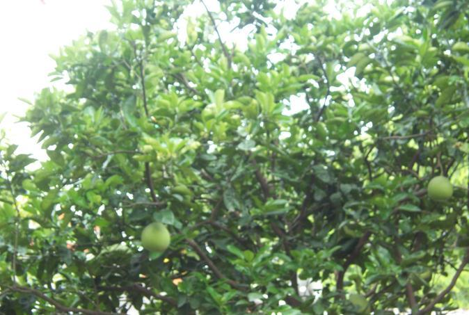 Citrus maxima Family Rutaceae Hindi name- Chakoptra, mahanimbu English name Paradise apple Location - common Distribution- Widely cultivated everywhere as a domestic fruit.