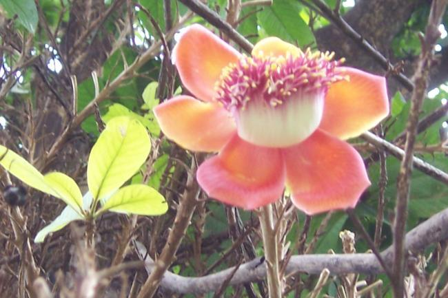 Coroupita guianensis Gaertn. Family-Lecythidaceae Hindi name-naaglingam English name-cannon Ball Tree Location- Kilol Park, Bhopal Distribution- Tree introduced.