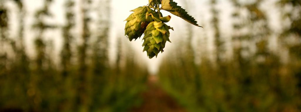 THE BREWING VALUE OF HOPS HOP & BREW